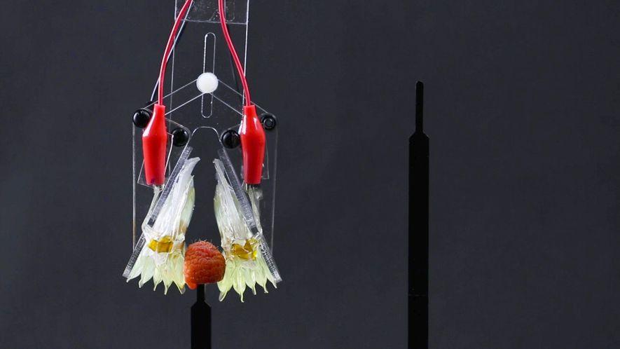 Músculos Artificiais Tornam-se Mais Semelhantes com os Humanos