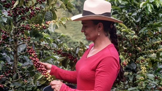 Alba Maria, matriarca de uma família multigeracional de produtores de café em Caldas, na Colômbia, seleciona ...