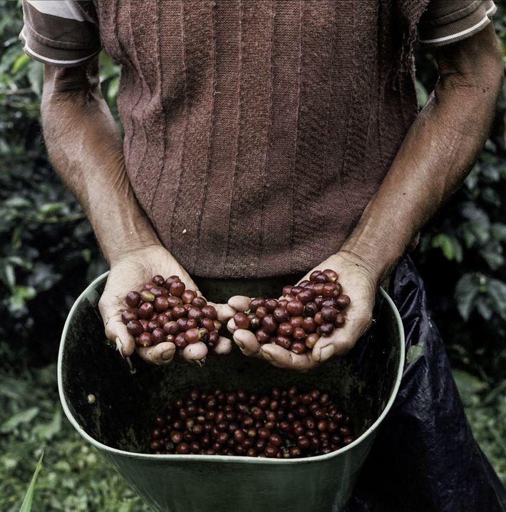 As pequenas plantações de café salpicam as encostas das montanhas dos Andes, na província de Caldas, ...