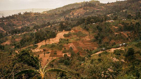 A Etiópia é amplamente considerada o local de nascimento genético do café Arábica, onde o cultivo ...