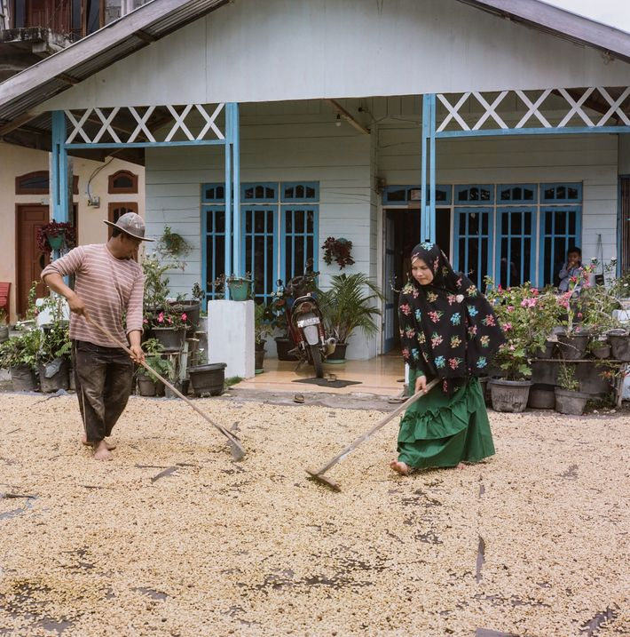 Os produtores de café de Sumatra usam a invulgar técnica de descasque por método húmido para ...