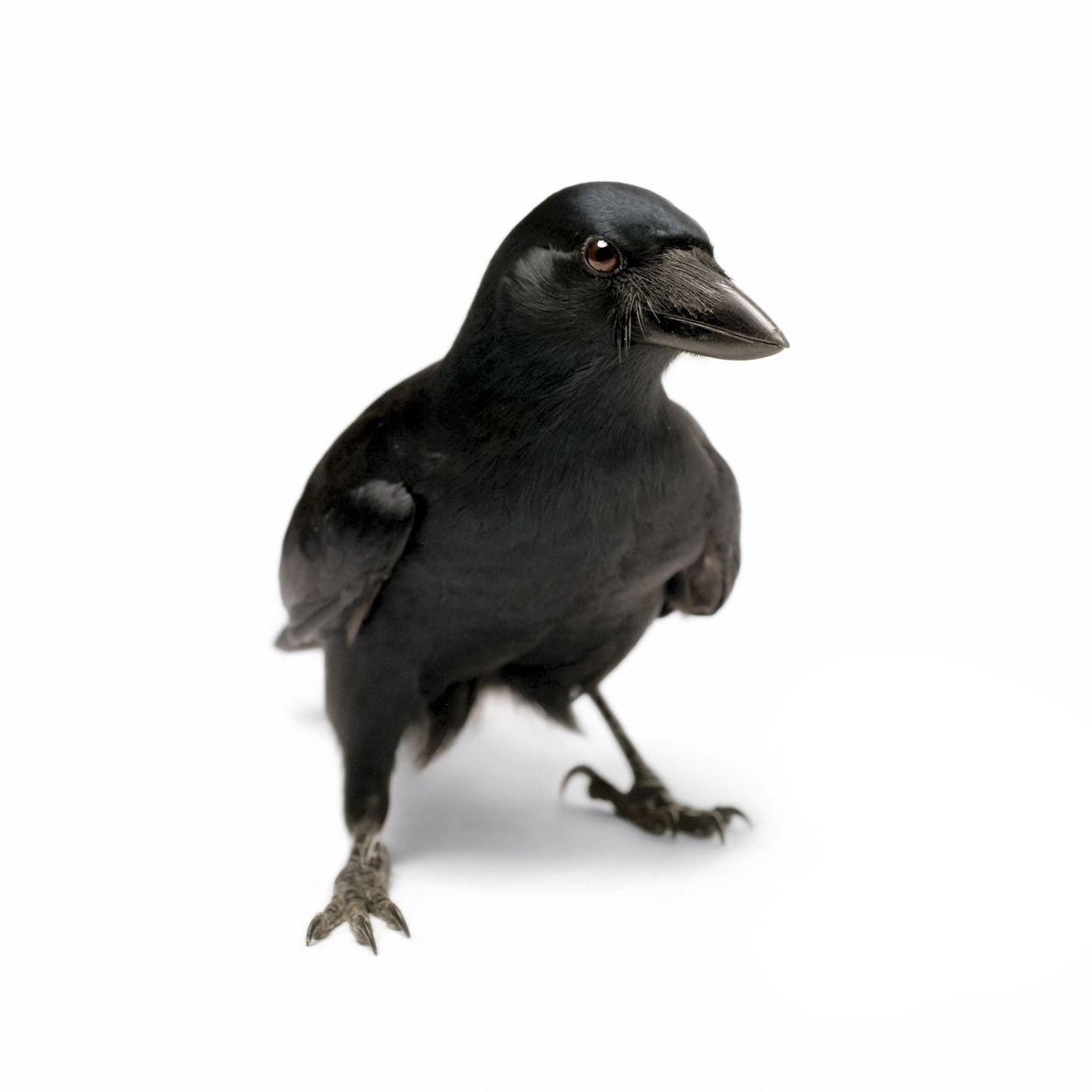 Os corvos-da-nova-caledónia são talentosos fabricantes de ferramentas que conseguem, por exemplo, moldar galhos em ganchos para ...