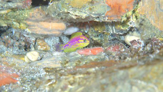 Encontrada Uma Nova Espécie de Peixe de Cores Néon