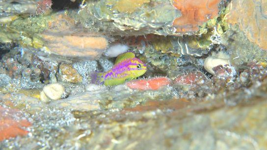 Um Tosanoides aphrodite surge através da fenda de um recife de coral.