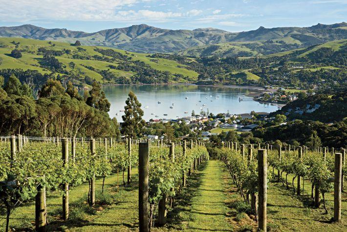 As vinhas prosperam perto da cidade de Akaroa, na Península de Banks, na Ilha do Sul ...