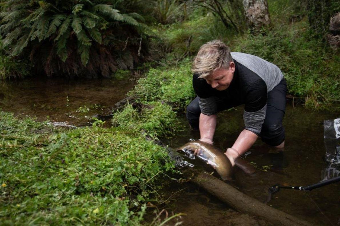Gordon Ramsay apanha uma enguia, um dos ingredientes mais apreciados na cozinha Maori.