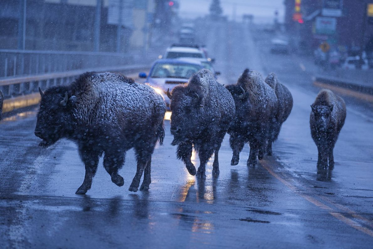 Parar pelo Bisonte