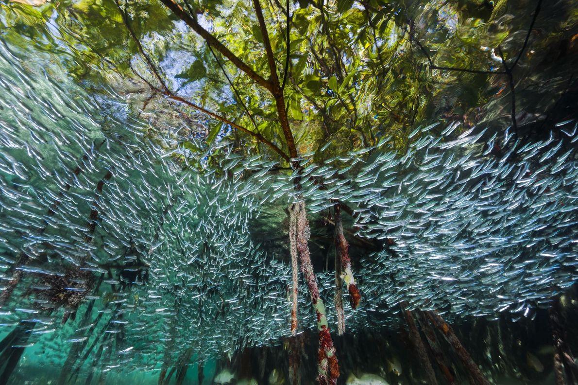 Um Turbilhão de Peixes Silverside