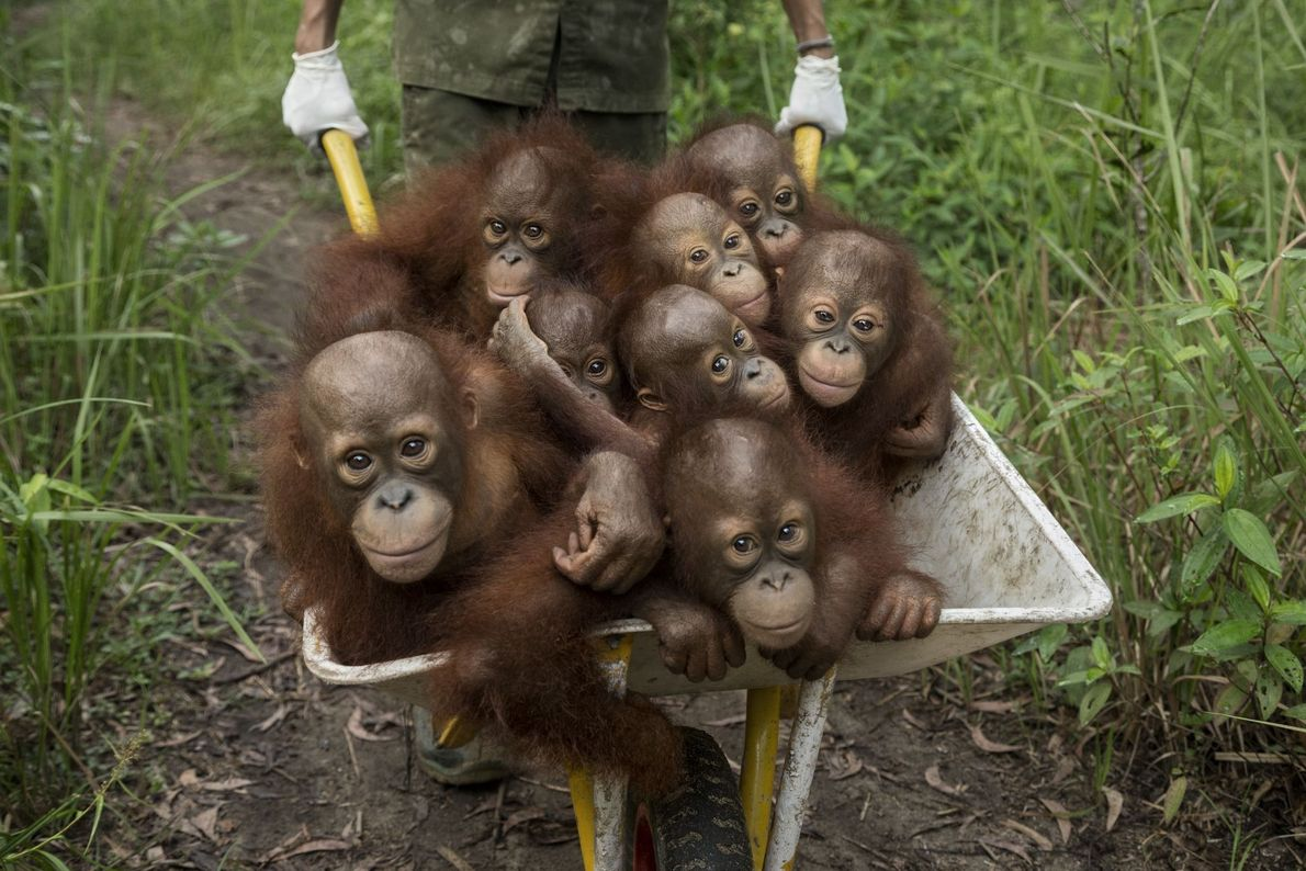 Macacos Órfãos