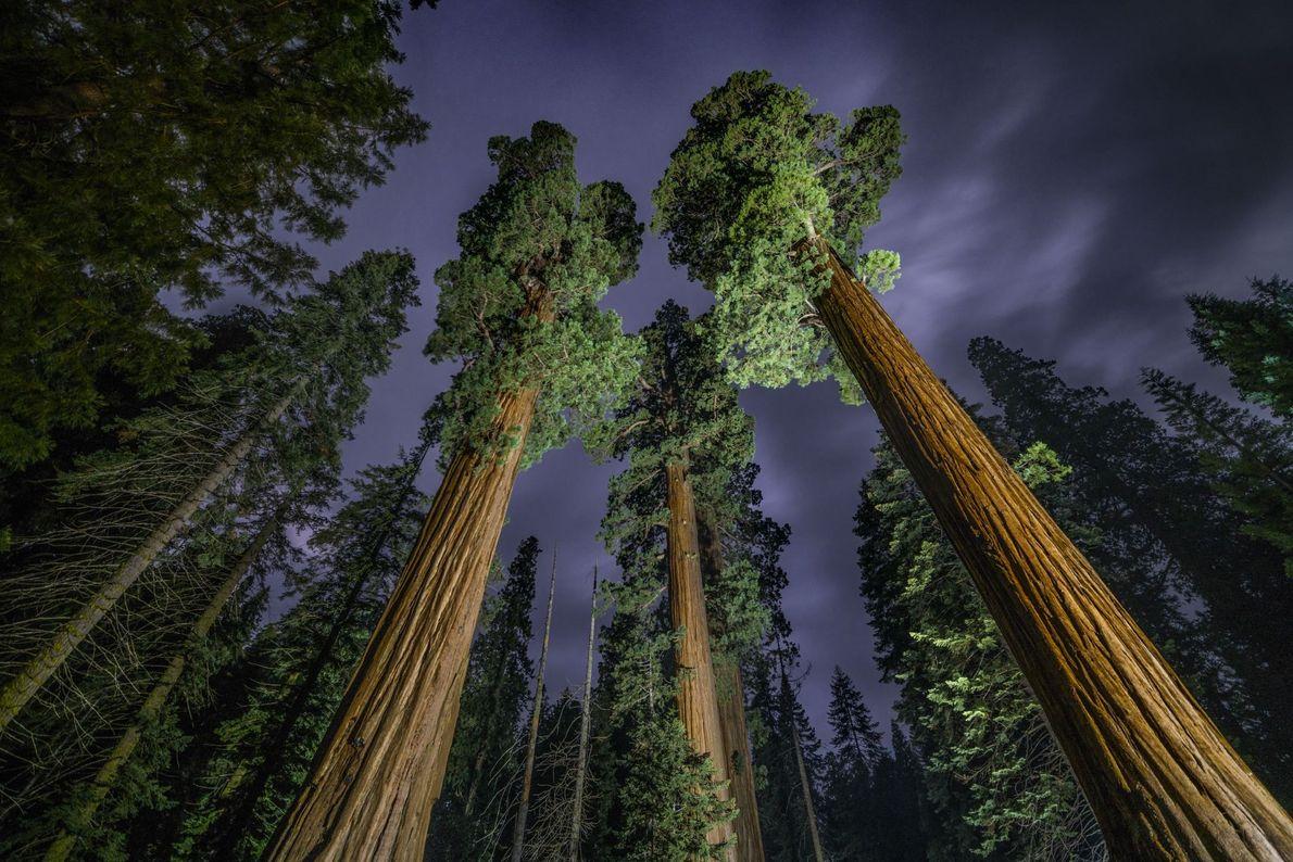 Sequoias Gigantes