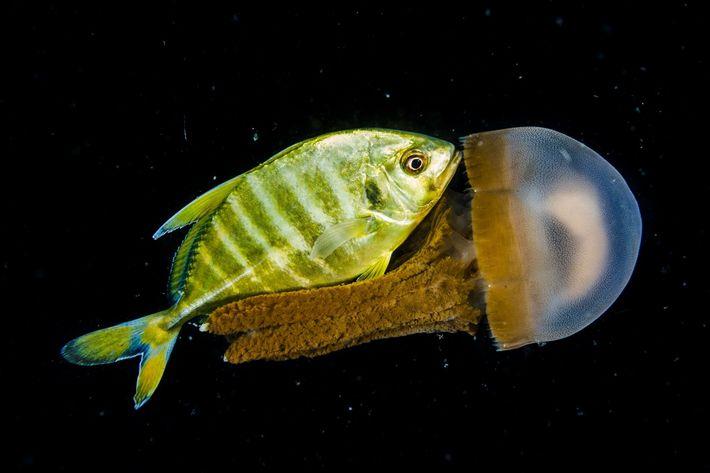 Um jovem xaréu e uma medusa confraternizam nas profundezas do mar ao largo da costa das ...