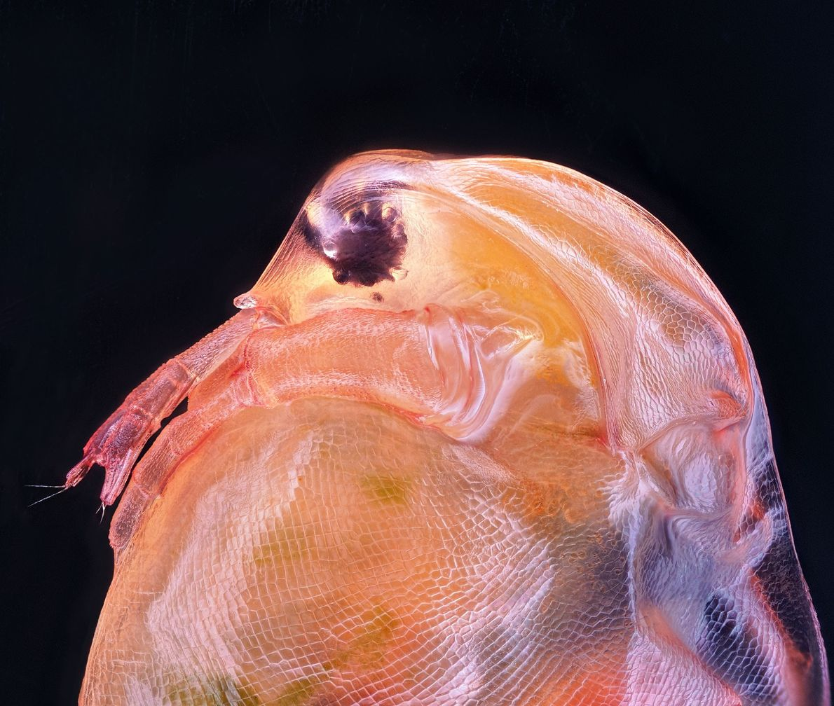 A Daphnia magna, ou pulga-de-água, é um pequeno crustáceo que é frequentemente usado como organismo experimental ...