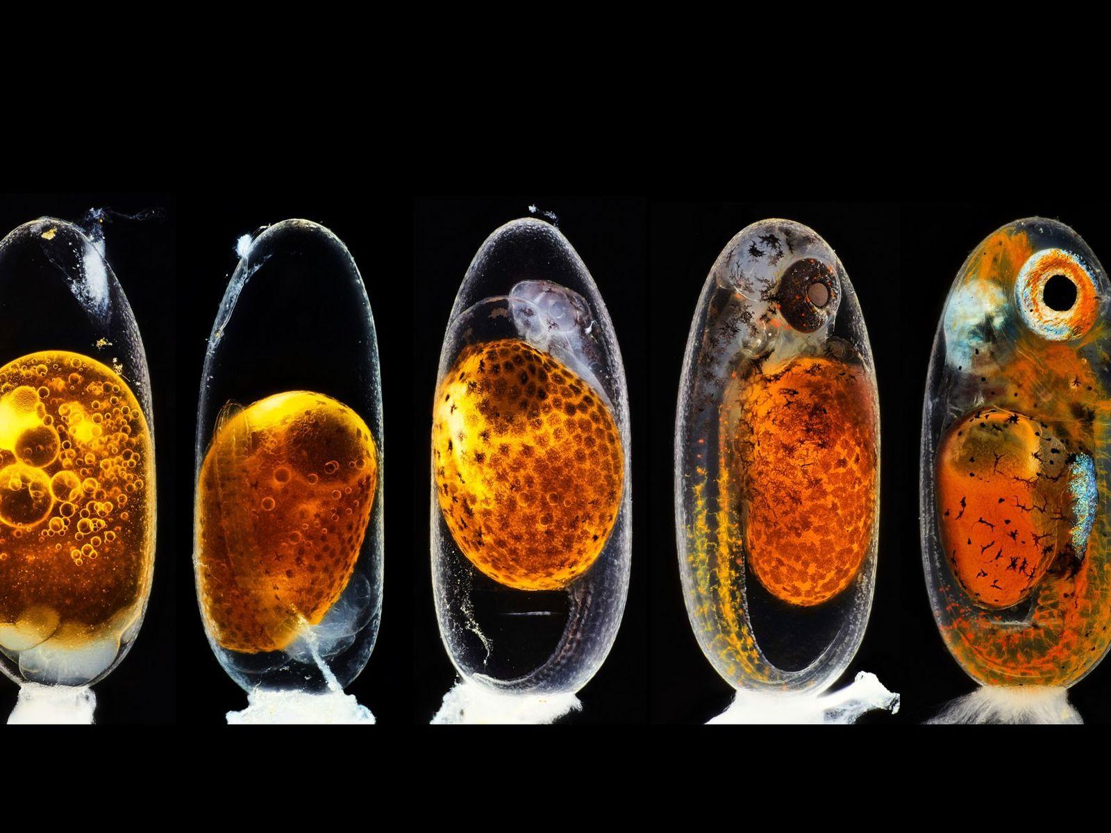 O fotógrafo alemão Daniel Knop juntou cinco imagens de um embrião de peixe-palhaço para ilustrar os ...