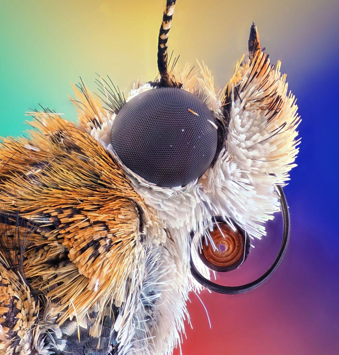 A maioria das traças tem olhos revestidos por uma nanoestrutura que suga a luz e evita ...