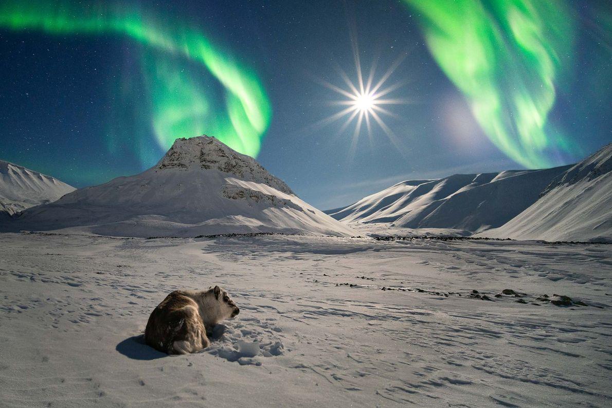 Uma rena desfruta do brilho da lua cheia e da aurora boreal, em Svalbard, um arquipélago ...