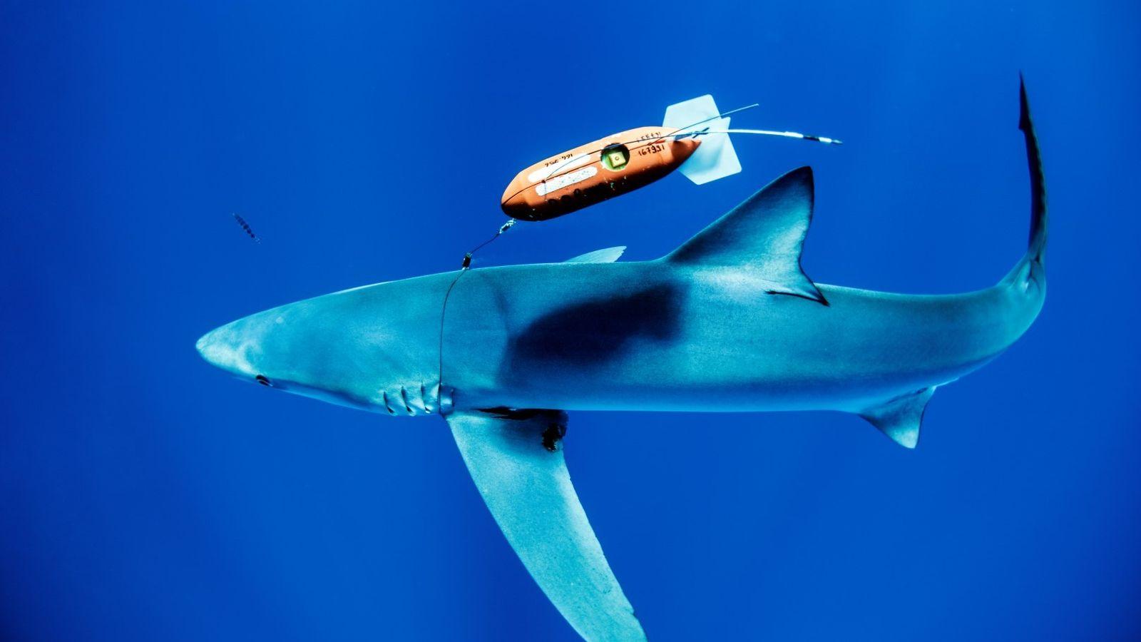 Tubarão-azul marcado com transmissor desenvolvido pelo ECODIVE-AZ.
