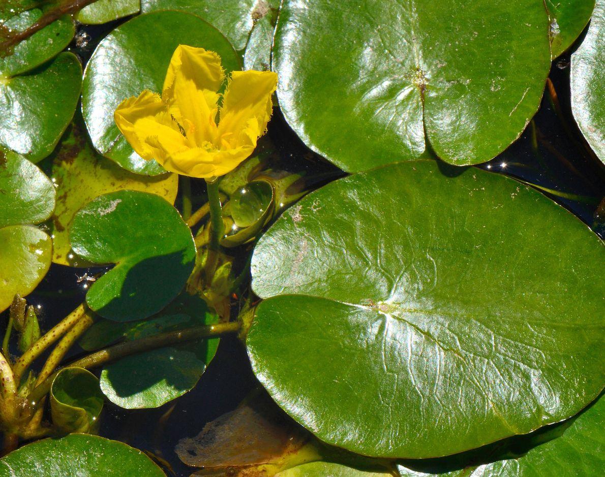 As plantas aquáticas como o golfão-pequeno (Nymphoides peltata) estão em declínio acentuado. Esta espécie está categorizada ...