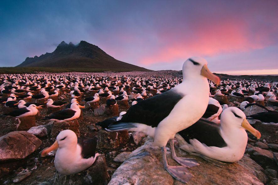 Um bando de albatrozes-de-sobrancelha pousam na orla da ilha de Steeple Jason, nas ilhas Falkland. Neste ...
