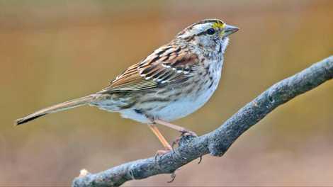 Declínio dos Pássaros Canoros Ligado a Inseticida