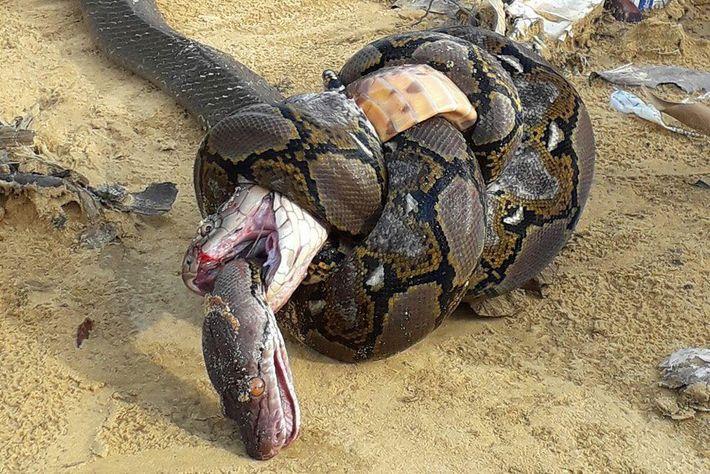 Luta mortal entre uma cobra-real e um píton-reticulado