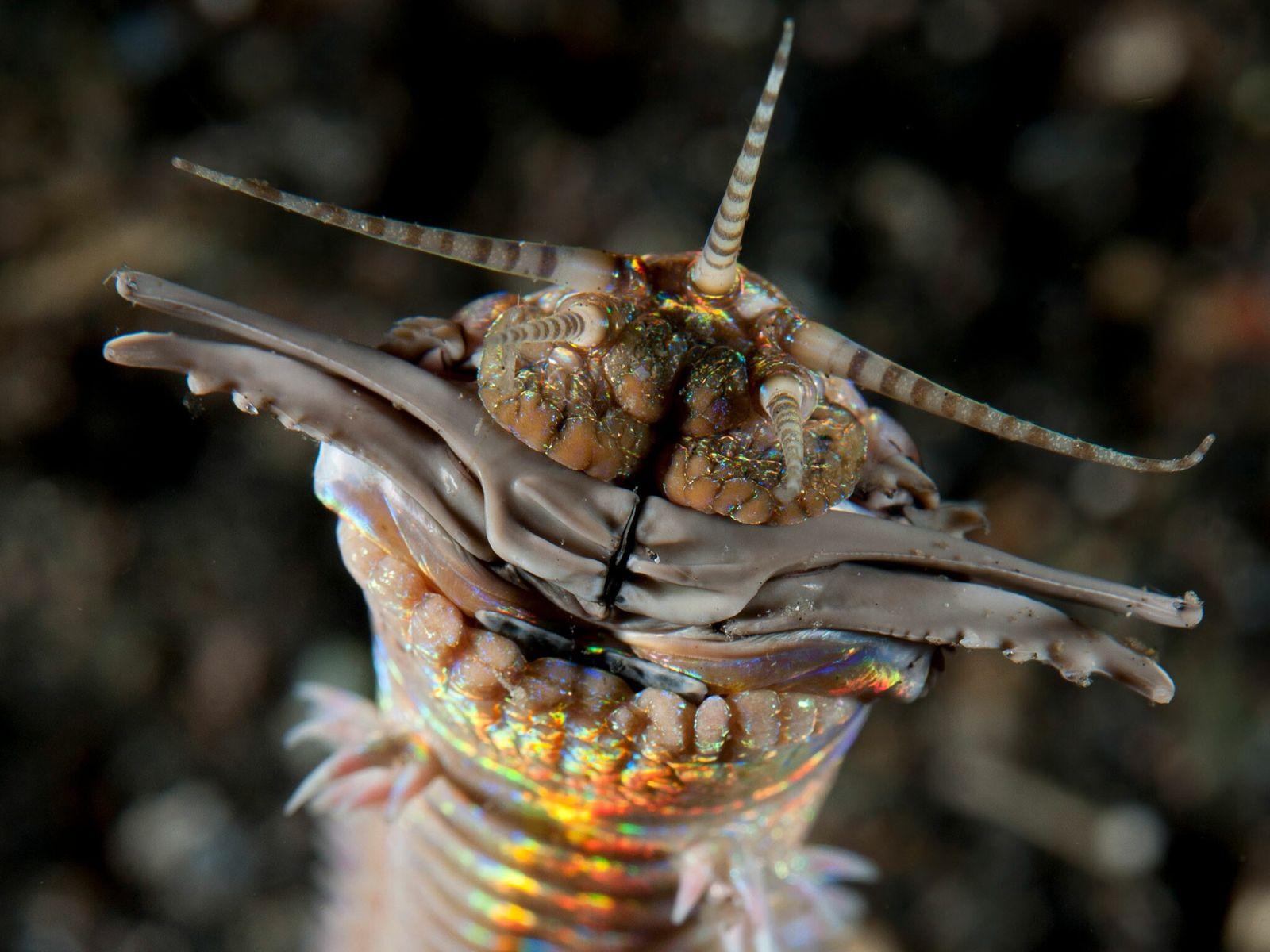 Os vermes predadores da areia podem crescer até aos 3 metros de comprimento. Este foi fotografado ...