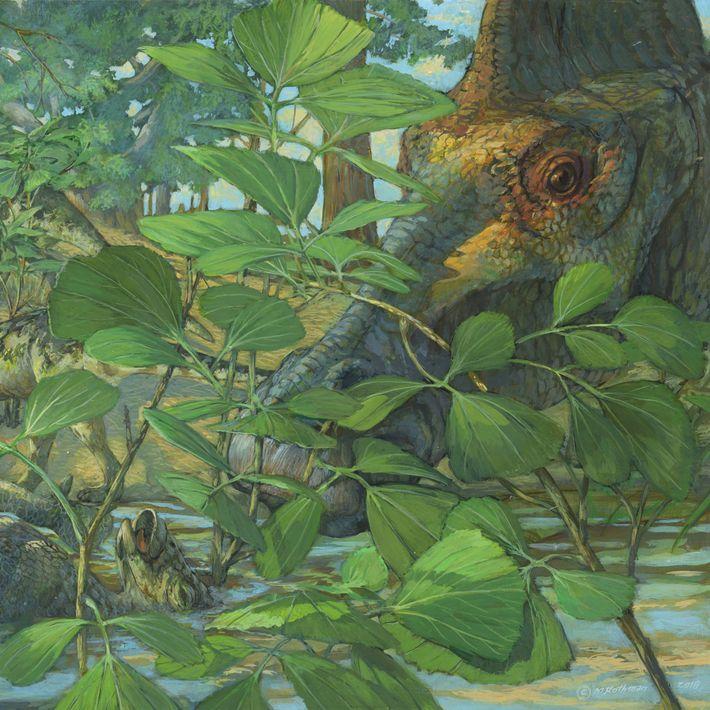 Há mais de 70 milhões de anos, o hadrossauro herbívoro Hypacrosaurus stebingeri vagueava pelas terras onde ...