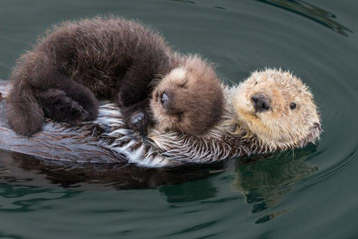 Lontra marinha e cria recém-nascida