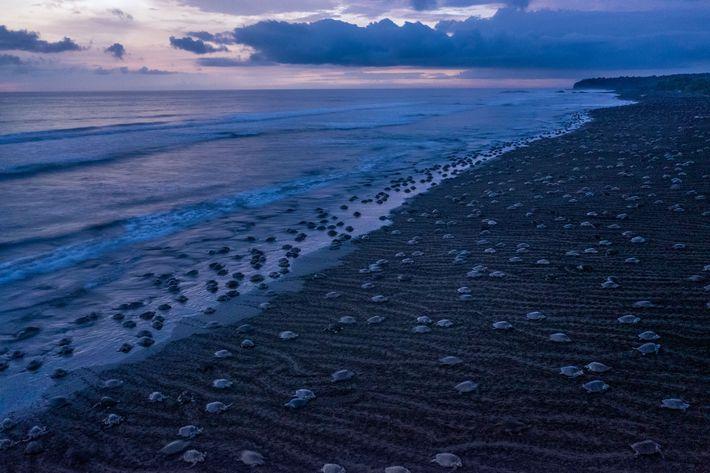 Na Costa Rica, durante a estação das chuvas, uma ou duas vezes por mês dezenas de ...