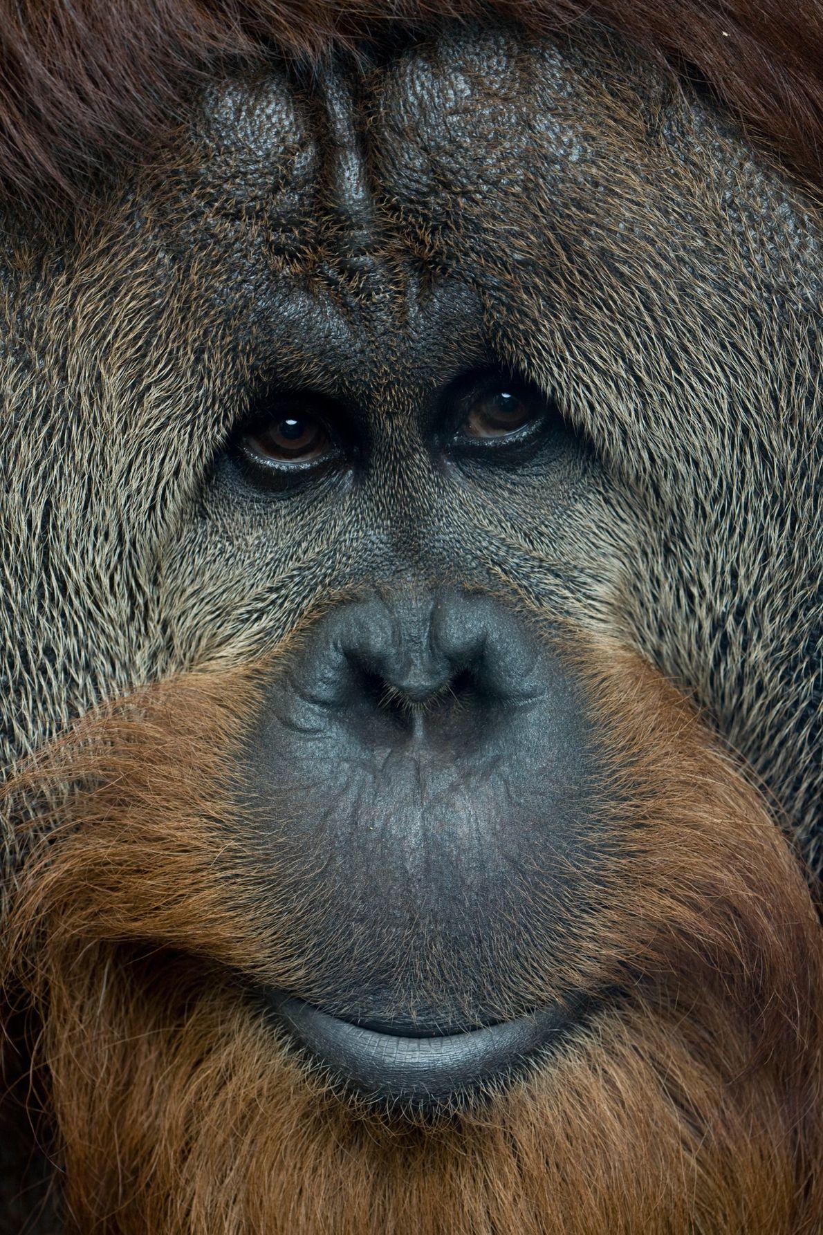 Na natureza, as populações individuais de orangotangos têm comportamentos únicos – como usar ramos folhosos que ...