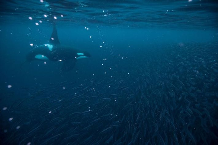 Imagem de orca