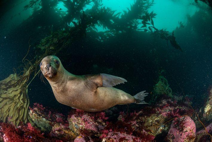 Um leão-marinho sul-americano nada perto da Ilha dos Estados, na parte argentina da Terra do Fogo. ...
