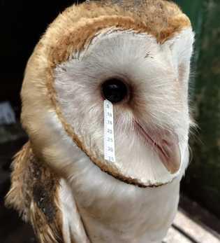 Um cientista recolhe uma amostra de lágrima de uma coruja-das-torres.