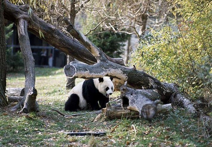 Panda gigante num Jardim Zoológico, em Washington, nos EUA