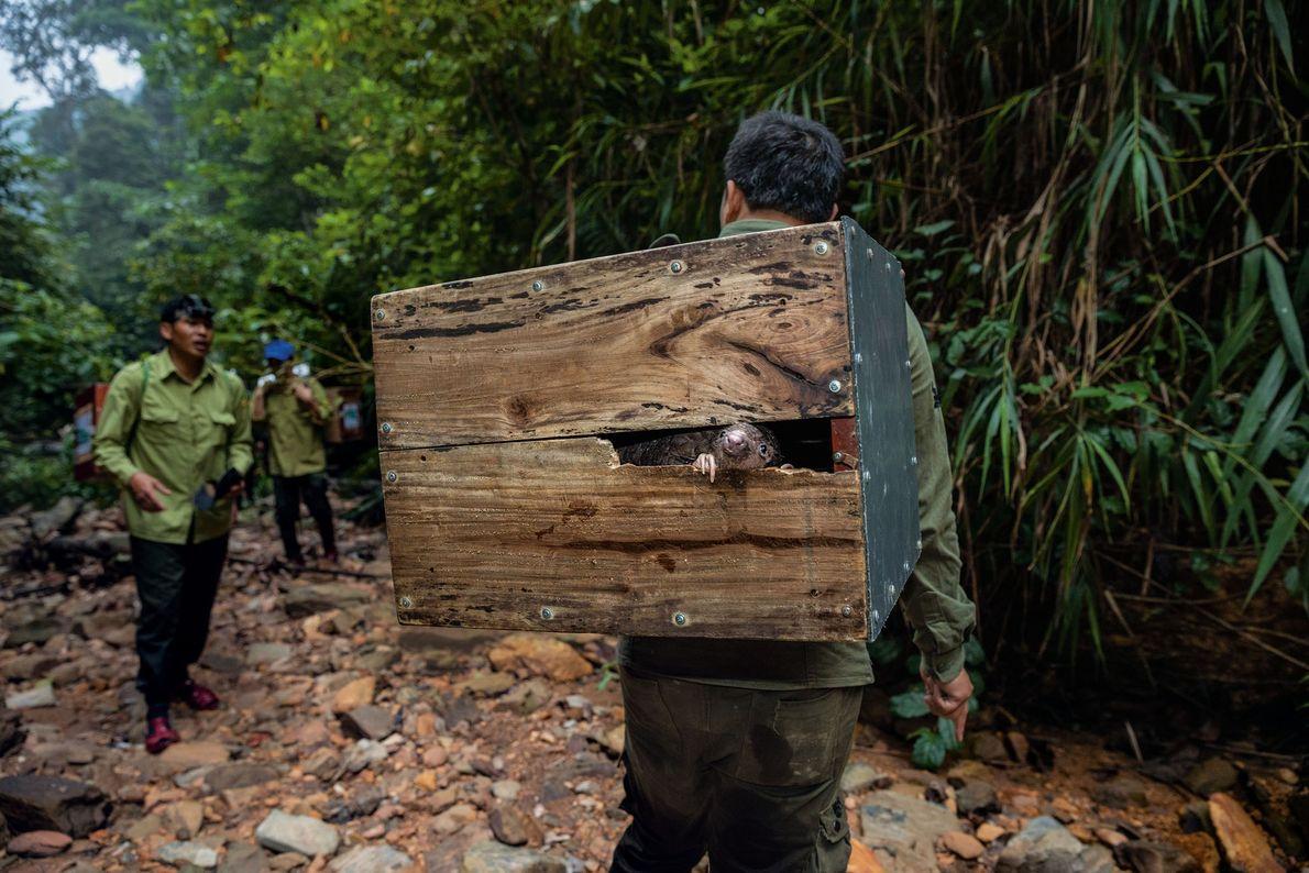 Um pangolim espreita de uma caixa enquanto é transportado para uma montanha remota no Vietname, onde ...