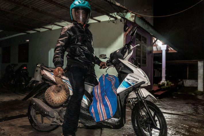 Na Indonésia, um caçador diz que entrega pangolins na cidade de Surabaya todas as semanas. Os ...