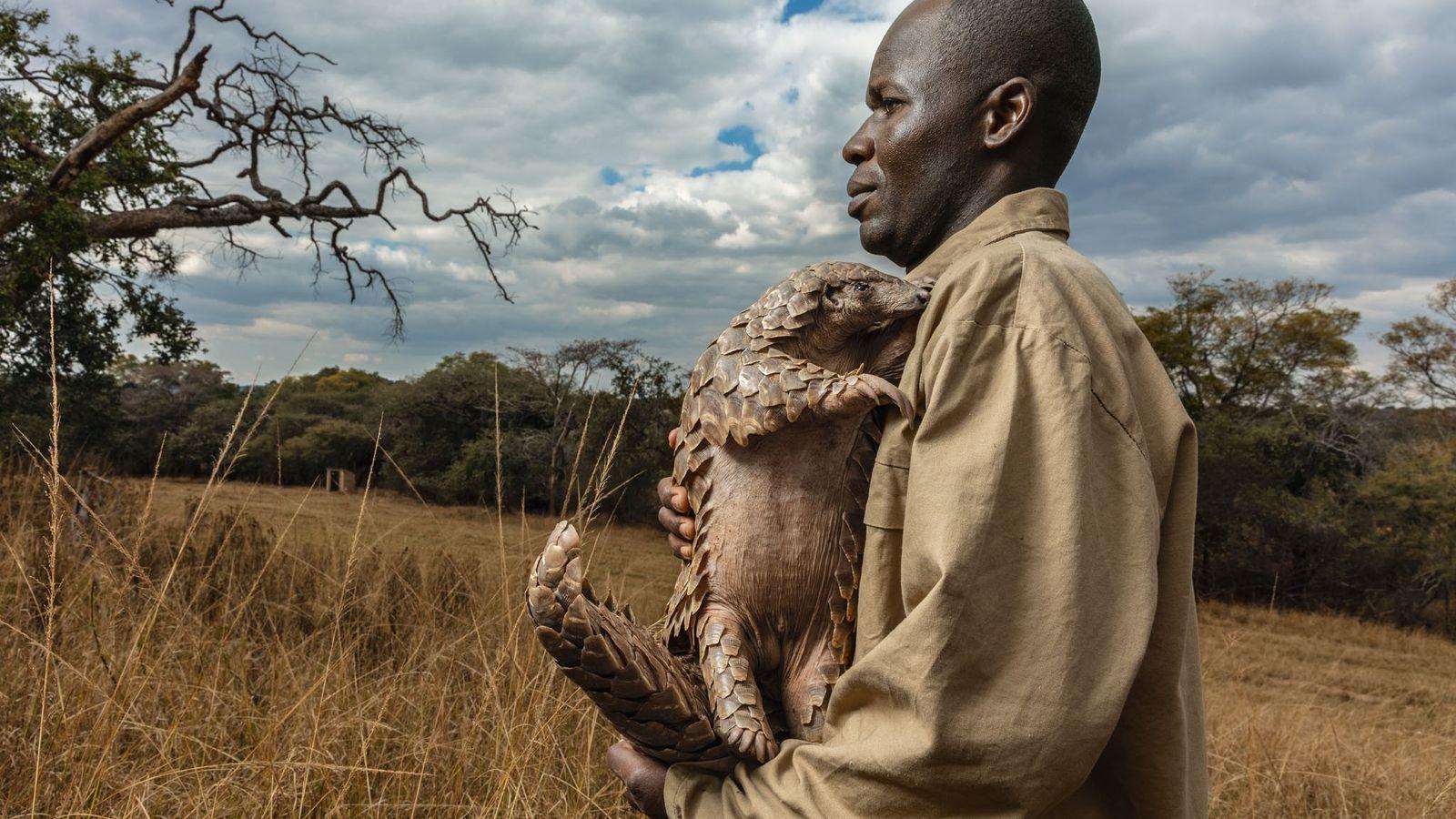 Na Fundação Tikki Hywood, no Zimbabué, todos os pangolins resgatados – como Tamuda, que vemos na ...