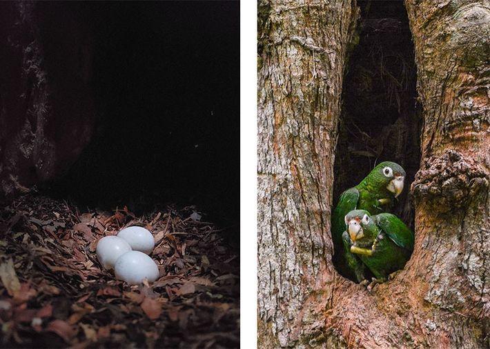 Esquerda: Três ovos de papagaio-de-porto-rico dentro da cavidade oca de uma árvore. Direita: Dois papagaios-de-porto-rico, com dispositivos ...
