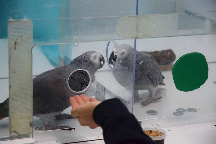 Nikki e Jack, dois papagaios-cinzentos, trocam fichas um com o outro durante a experiência.