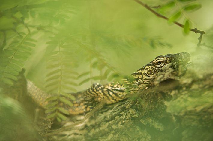 Uma cria de dragão de Komodo sobe uma árvore no Parque Nacional de Komodo, na Indonésia. ...