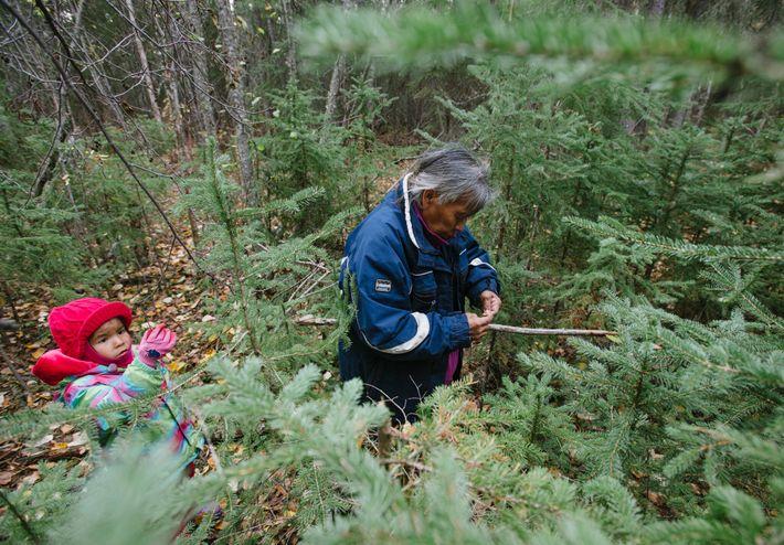 Presley Simba-Canadien colhe plantas e bagas com a sua avó, Rosie Canadien, no Lago Tathlina, nos ...