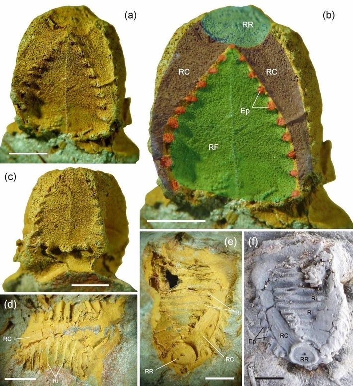 Exemplar fóssil do crinóide Tiaracrinus quadrifrons (espécime FCT-DCT-4638) descoberto na região de São Pedro da Cova. ...