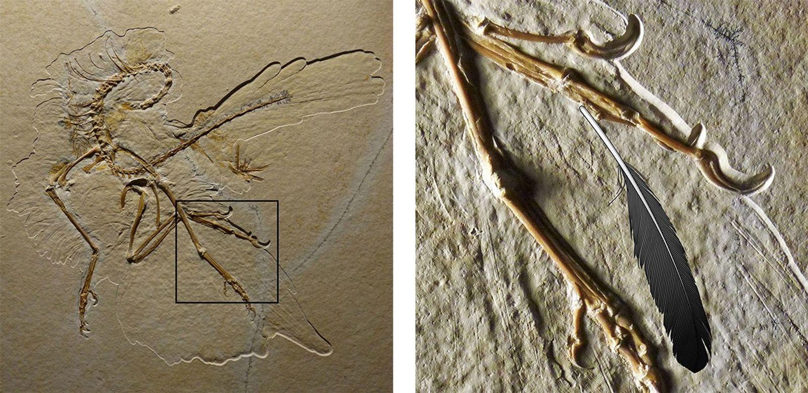 O espécime de Archaeopteryx de Altmühl (à esquerda) inclui marcas das penas do animal. Quando a ...