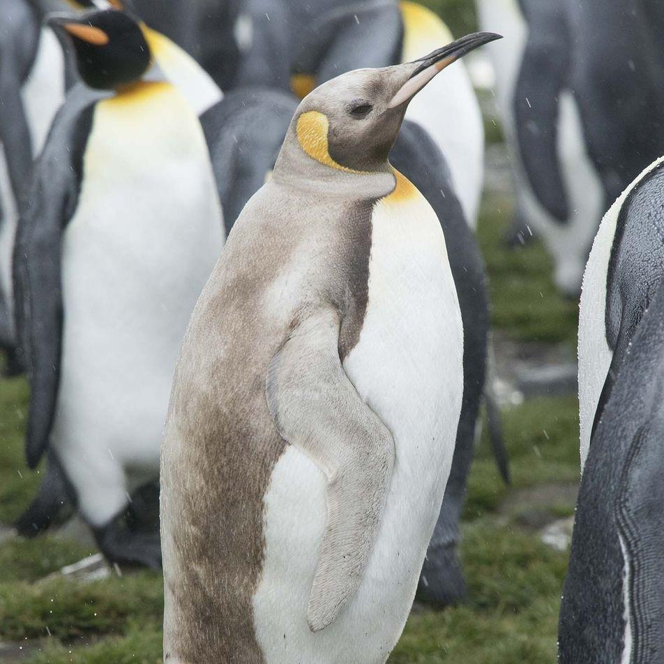 Pinguim e Lobos-Marinhos de Cores Pálidas Raros Avistados Numa Ilha Remota
