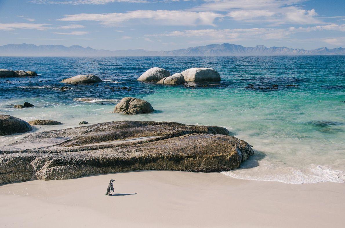 Um pinguim-africano passeia pela Praia de Boulder, na Península do Cabo, na África do Sul. A ...