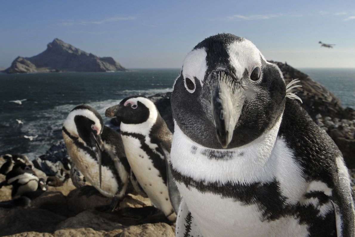 Pinguim-do-cabo