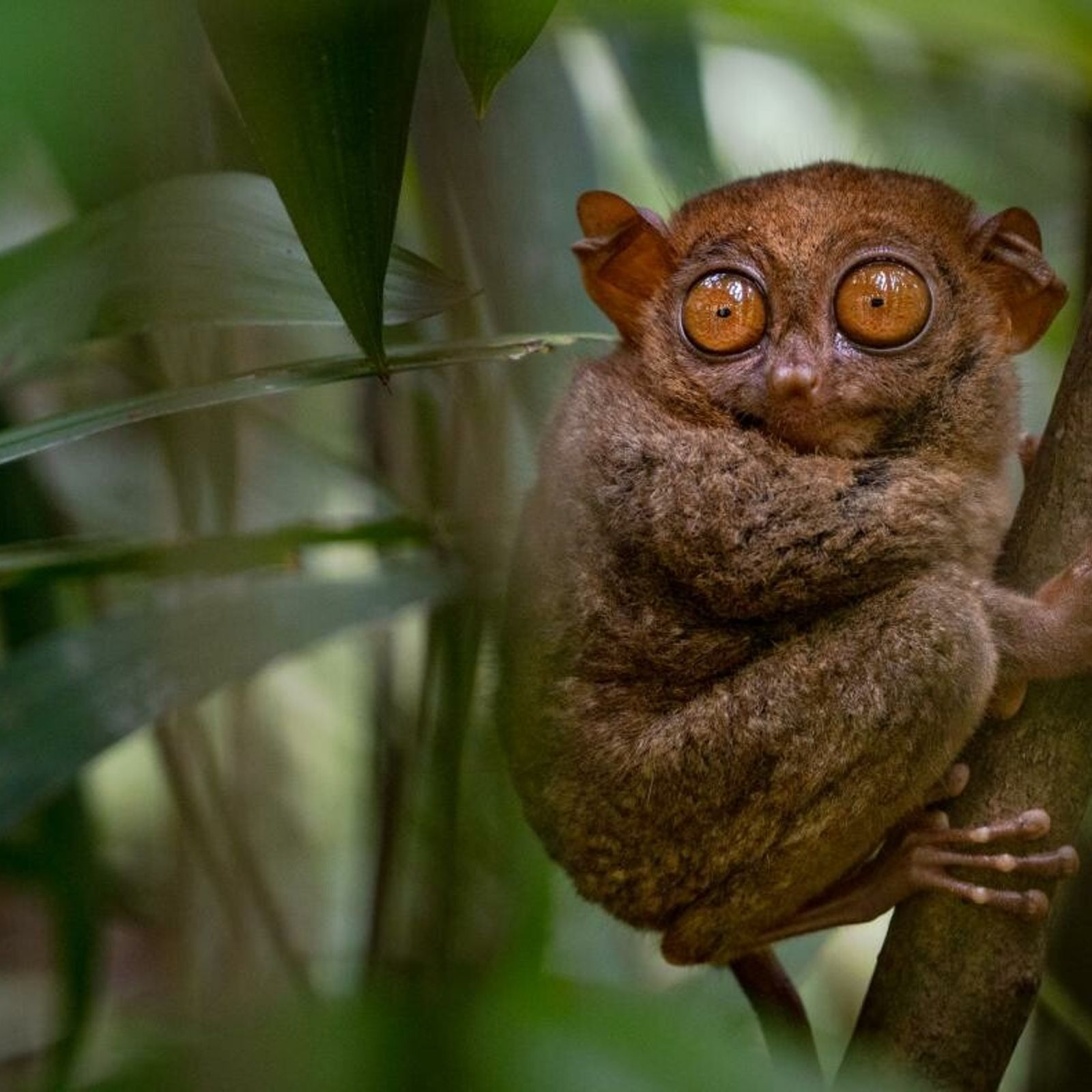 Um társio filipino está atento ao som de um inseto escondido entre as folhas de uma ...