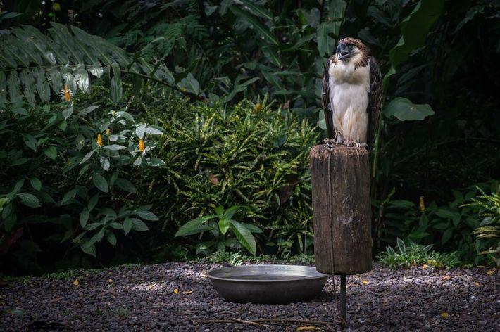águia-das-filipinas