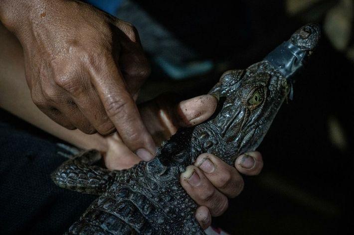 crocodilo-filipino juvenil