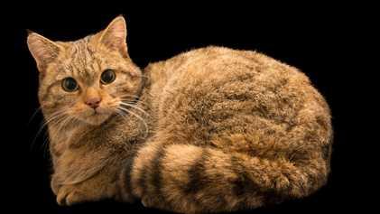 Restos Mortais de Antepassado dos Gatos Domésticos Encontrados em Grutas na Polónia