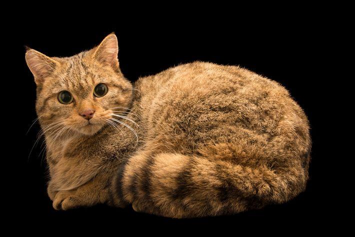 O gato selvagem europeu (como este fotografado no Parco Natura Viva, em Itália) partilhou o habitat ...